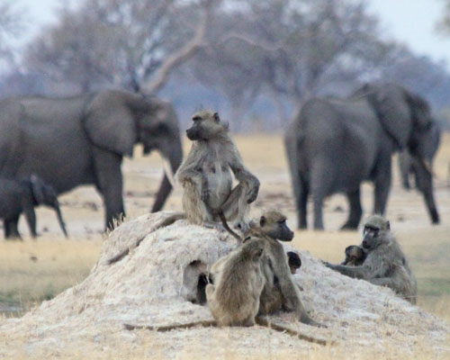 Savanna Baboon