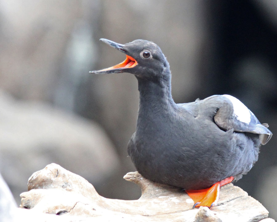 pigeon guillemot research paper