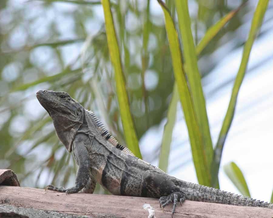 Land Speed Record >> Spiny Tailed Iguanas