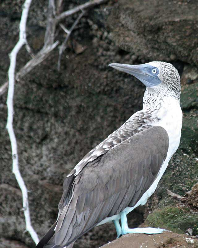 Blue Footed Boob 93