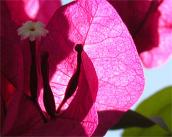 Bougainvillaea bloom