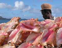 Conch Seller