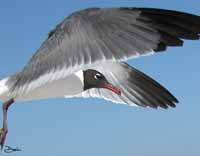 Laughing Gull Flap