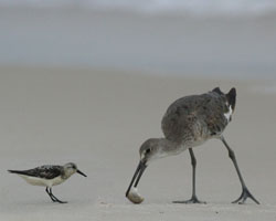 Sandpipper and Willet